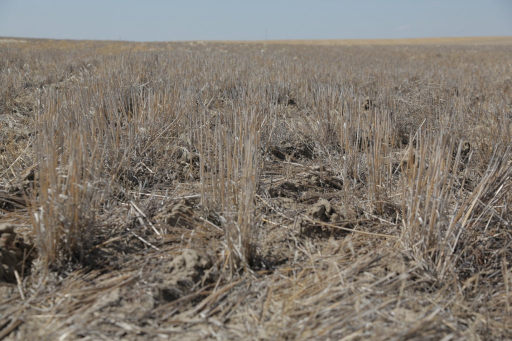 Wheat residue on dry field