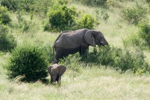 Adult elephant with calf