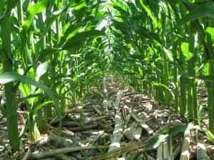 Understory of corn row in field