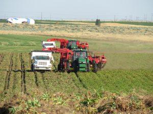 Potato harvesting vehicles work in field