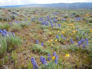 Shrub steppe vegetation with flowering balsamroot and lupin