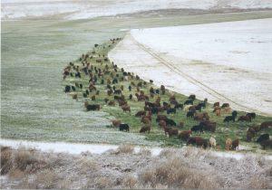 Cattle graze in snowy field.