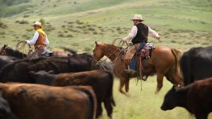 Two cowboys on horseback with cattle in foreground.