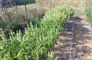 Basil buds and seed