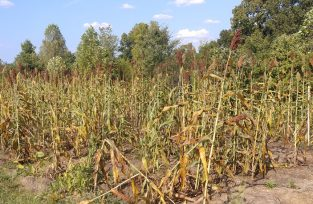 Sorghum ready to harvest