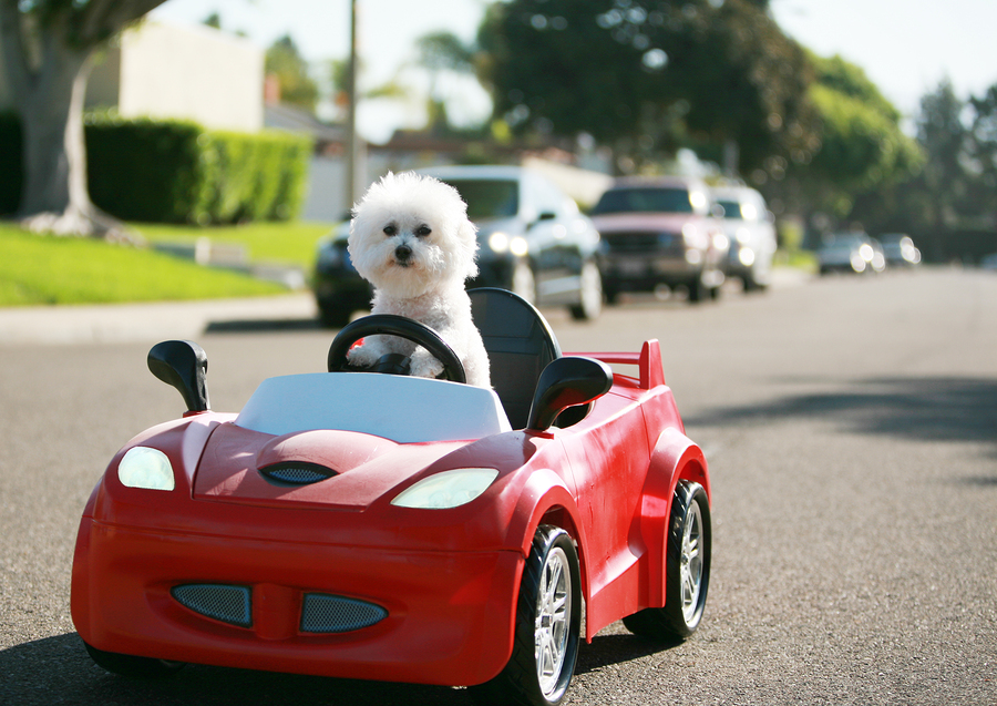 Bichon Frise-car-best travel dog breeds