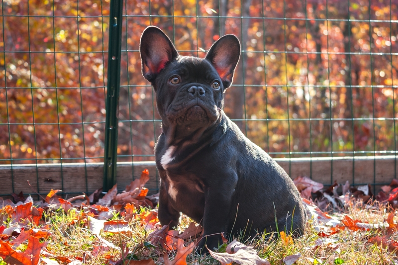 aaron-bookout-unsplash-french bulldog