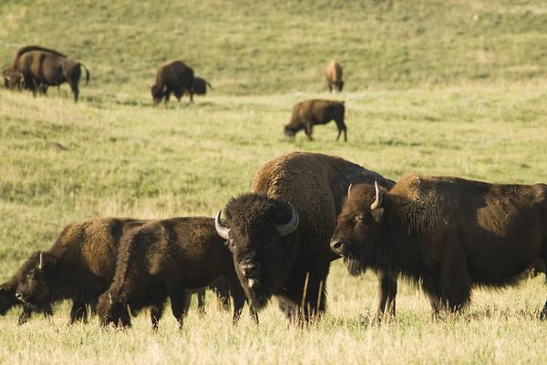 North Dakota-Buffalo