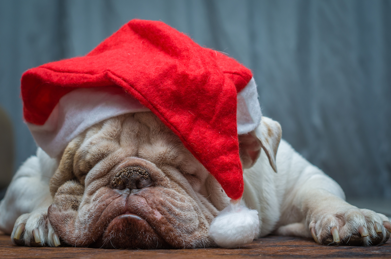 Christmas-english bulldog-travel nurse adventures