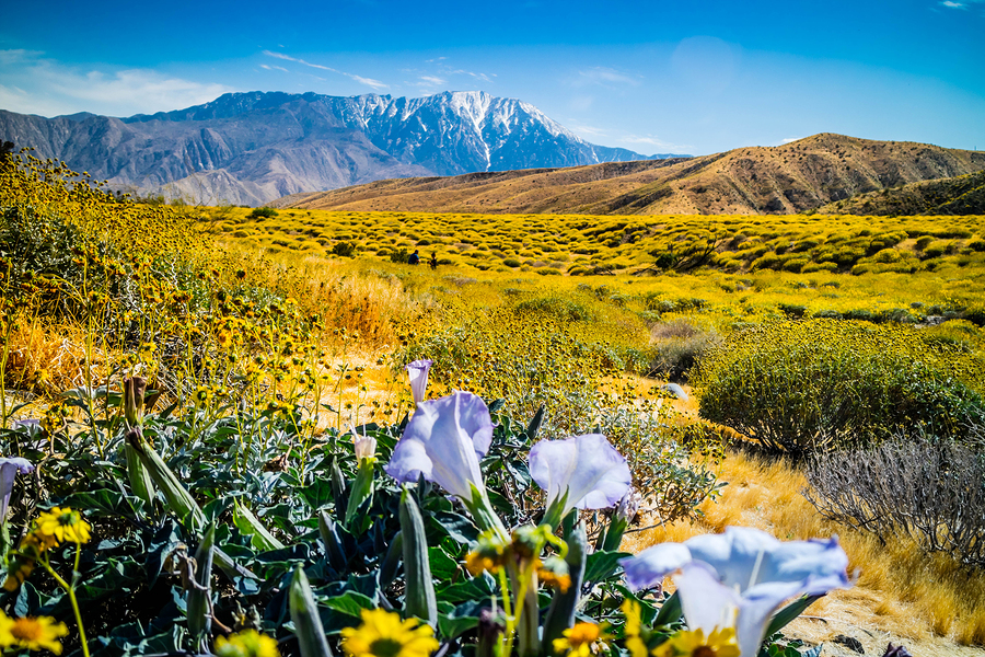 Purple Moonflowers-Palm Springs-California-travel healthcare jobs april 1