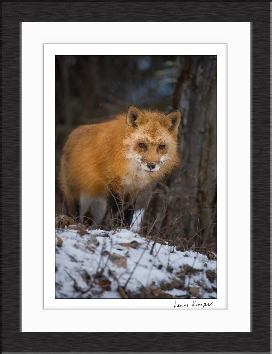 Red Fox 2 Winter Triple D Game Farm Kalispell Mt Captive Lewis Kemper Photography