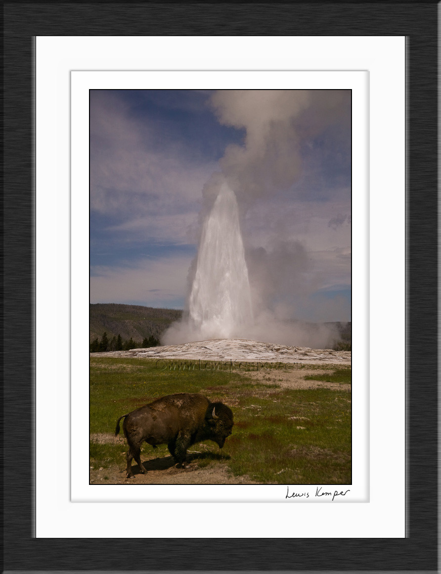 Old Faithful And Bison Yellowstone National Park Wyoming