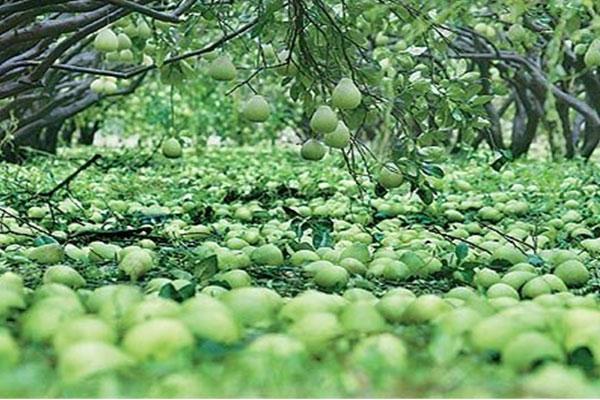 花蓮地區受到重創成為落果的文旦柚
