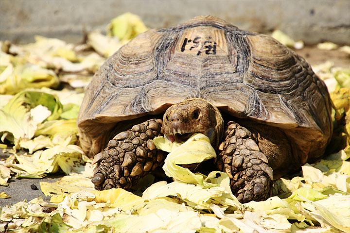 關廟護生教育園區中的象龜也是降低糧損的一員