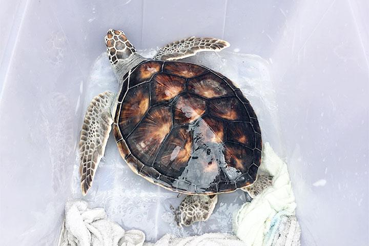 福智志工淨灘,祝福綠蠵龜「臭泥」順利回到大海的家