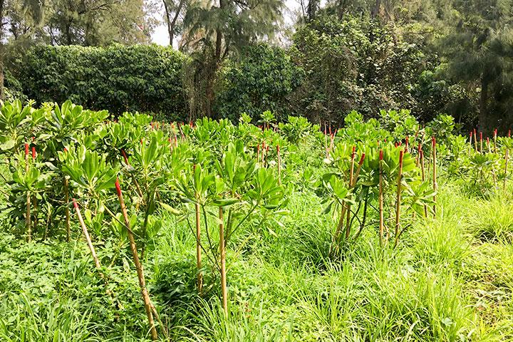 慈心基金會2017年起於麥寮防風林破空處種植的樹苗已順利成長