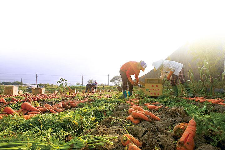 紅蘿蔔盛產