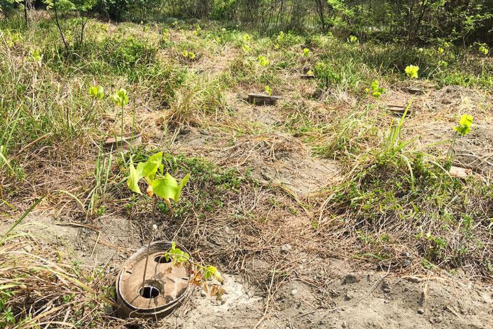 濁水溪高灘地挖植穴時保留植被不整地