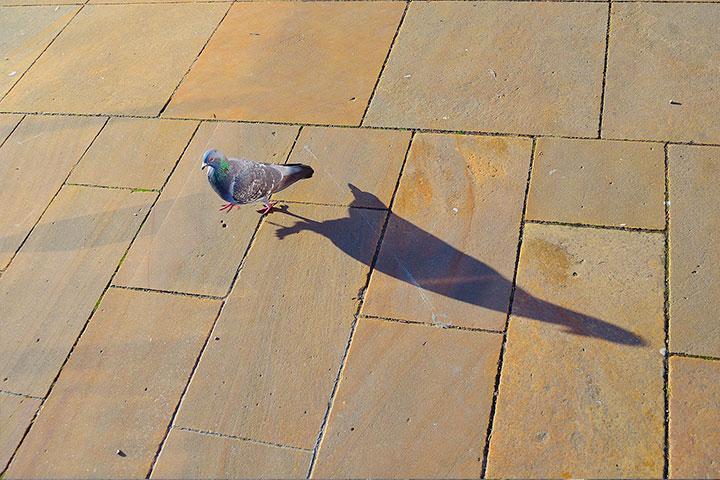 小鴿子返家記