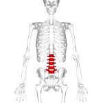 Position of human lumbar vertebrae