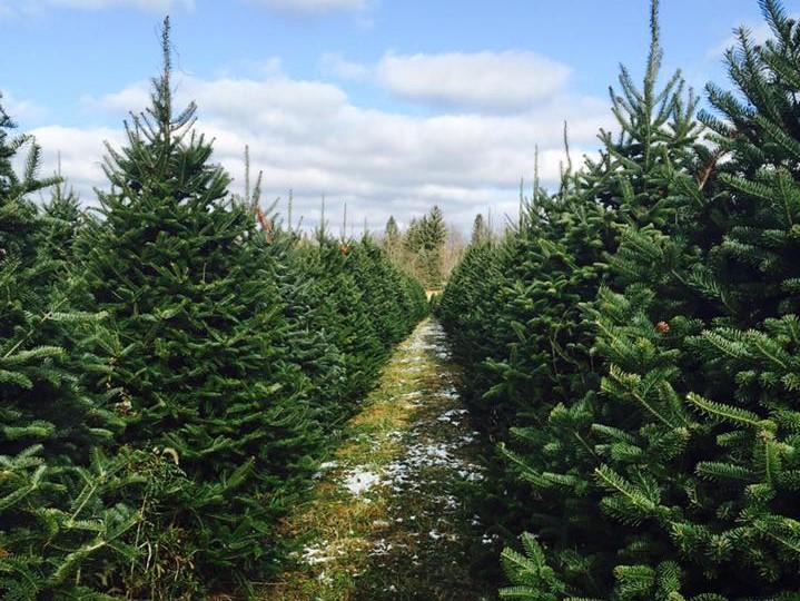 3 Hozak Farms Christmas Trees
